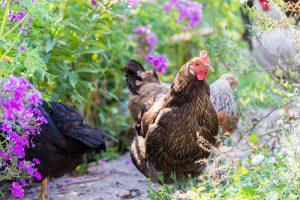 Chickens Grazing