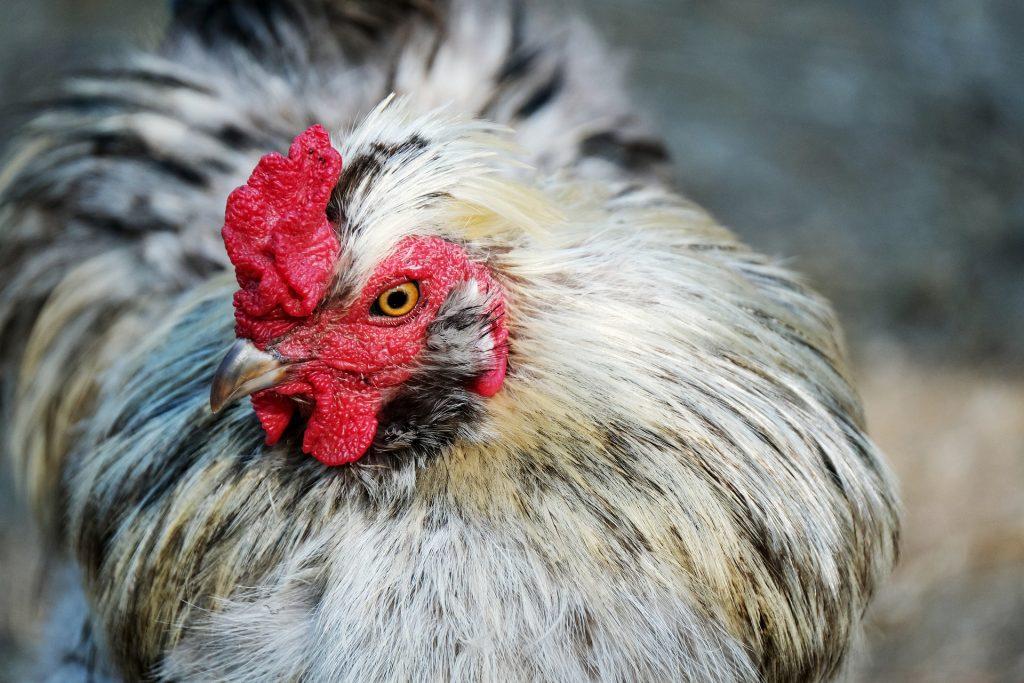 chicken crop problems