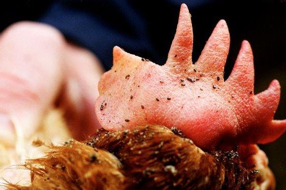 Red Mites on Chicken