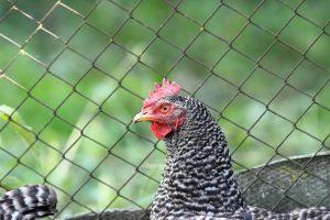 Hen near fence
